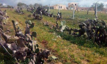 vendre Terrain d'oliviers avec maison à hammamet