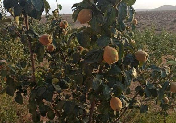 Ferme titrée de 3 hectares a ait oufella commune rurale de Itzer tout près de la route nationale , elle contient 3000 pieds de pommiers, une centaine d'arbres abricotier, cerisier, pêche, prunier le tout productifs.